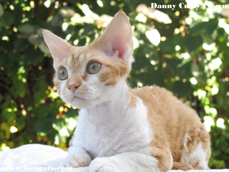 Danny Curly Clown , Devon Rex red blotched tabby bicolor male