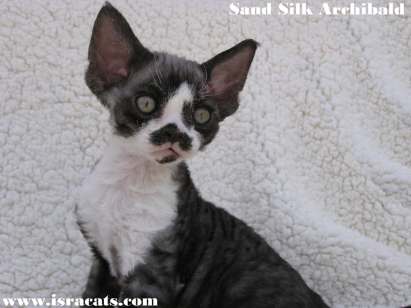 Sand Silk Archie,Devon Rex black smoke and white available  male kitten,from israeli cattery Sand Silk