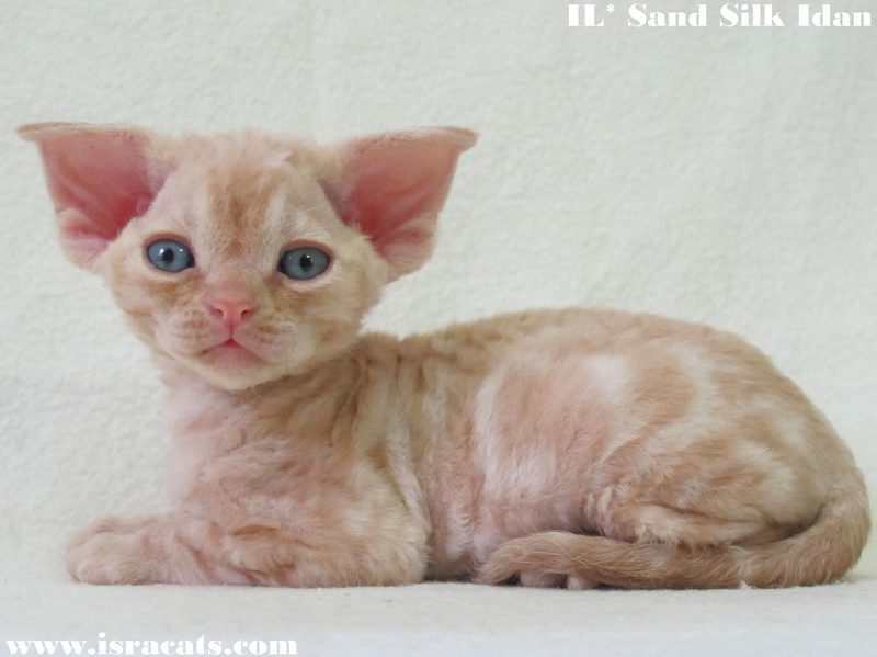 Sand Silk Idan, Devon Rex  male kitten ,Red Silver Blotched