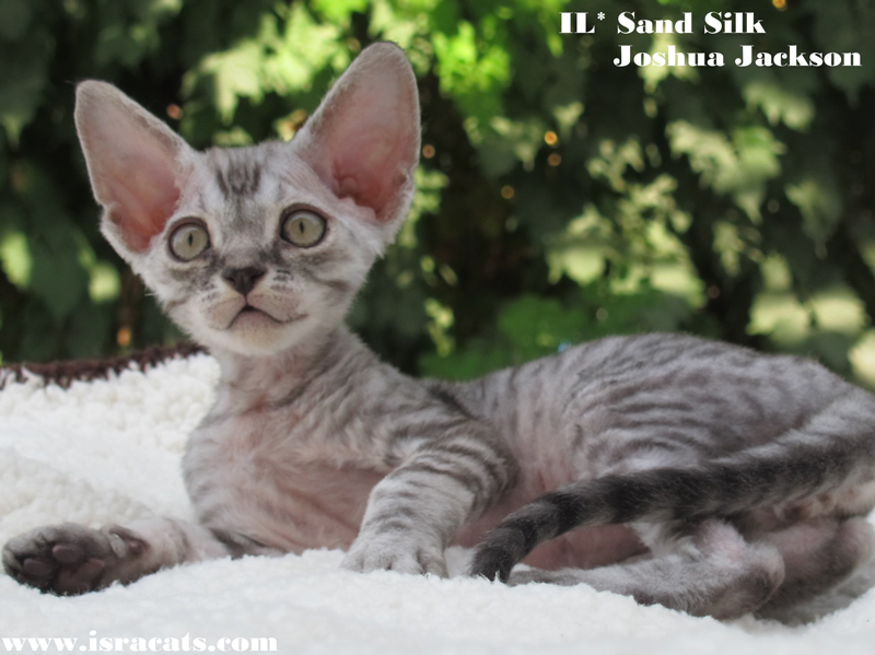 Sand Silk Joshua Jackson, Available Devon Rex  male kitten, color Black  Spotted