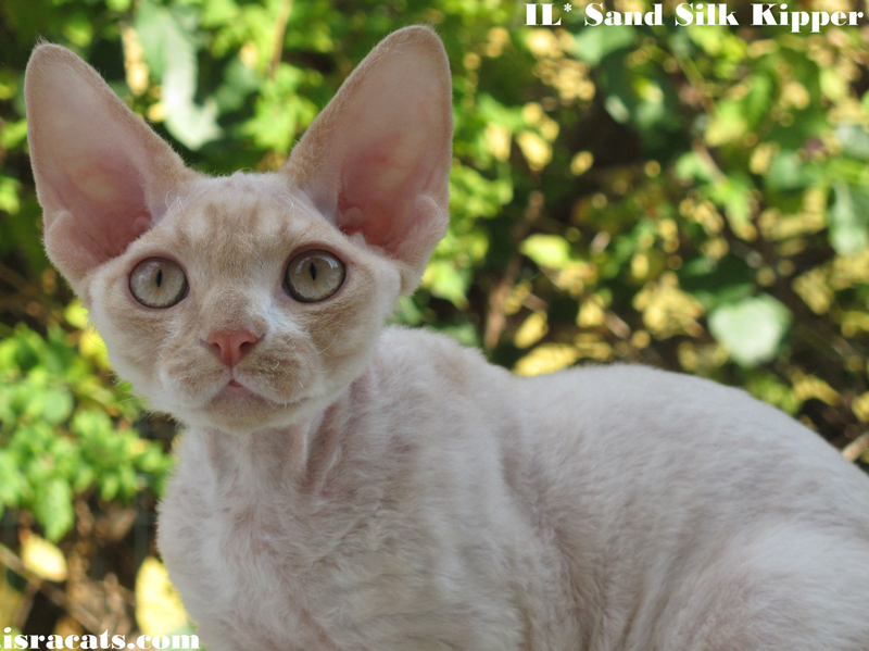 Devon Rex Sand Silk Litter,More information and pictures