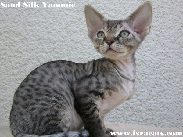 Sand Silk Yammie , Devon Rex male Kitten