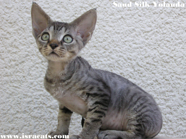 Sand Silk Yolanda , Devon Rex Female Kitten