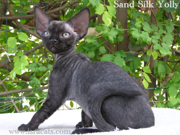 Sand Silk Yolly , Devon Rex Female Kitten