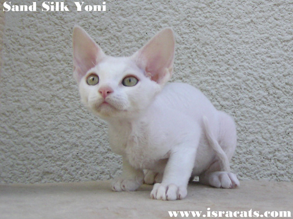 Sand Silk Yoni , Devon Rex male Kitten