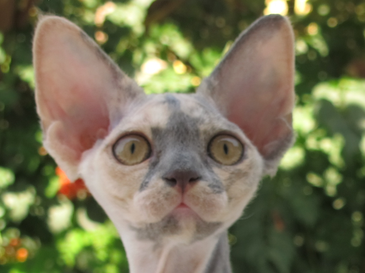 Sand Silk Iris Kiss-Kiss,Devon Rex female Cat,Blue Tortie with White.More information and pictures