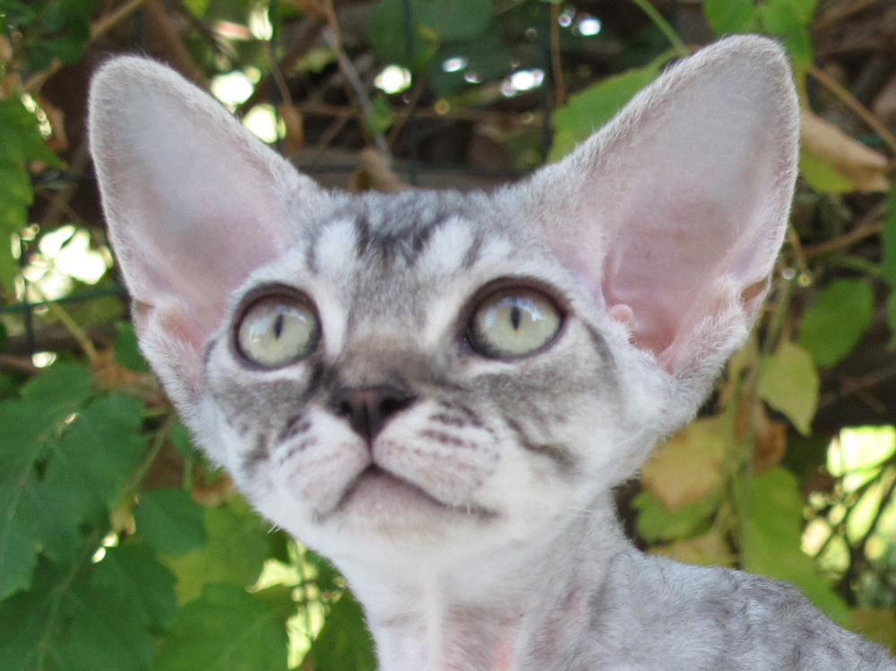 Sand Silk Lalinda,Devon Rex female Cat,Silver Tabby.More information and pictures