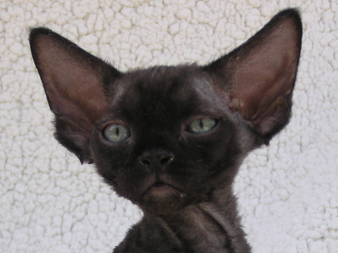 Sand Silk Yolly,Devon Rex female Cat,Black.More information and pictures