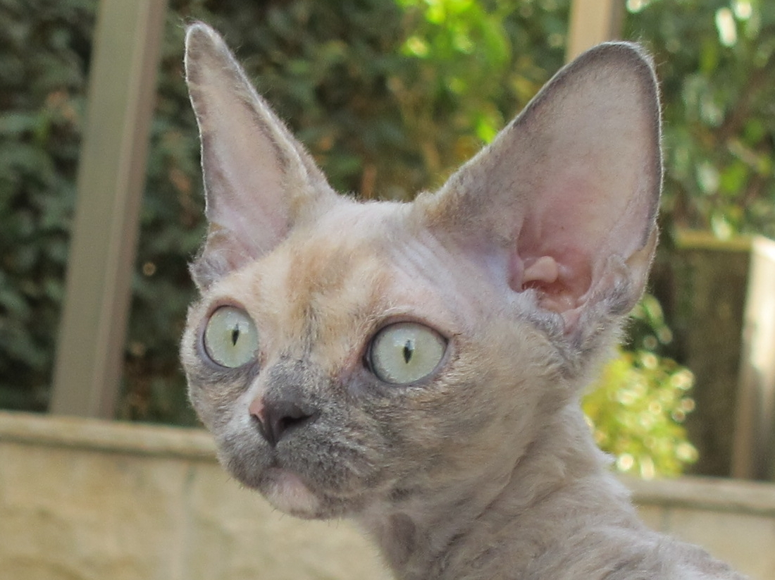 Sand Silk Gaia,Devon Rex female Cat,Blue Tortie.More information and pictures