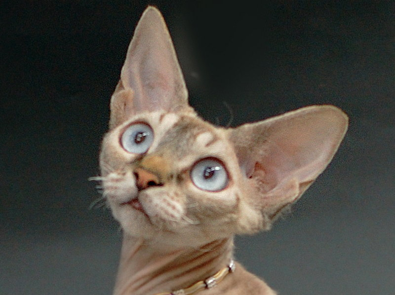 Santala's Nyah. Devon Rex Cat.Female,Seal Silver Tabby Point.More information and pictures