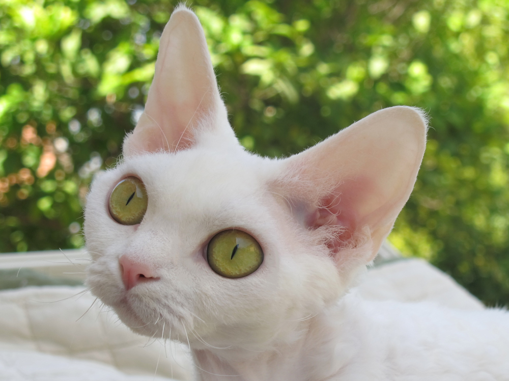 Sand Silk Alice,Devon Rex female Cat,White.More information and pictures
