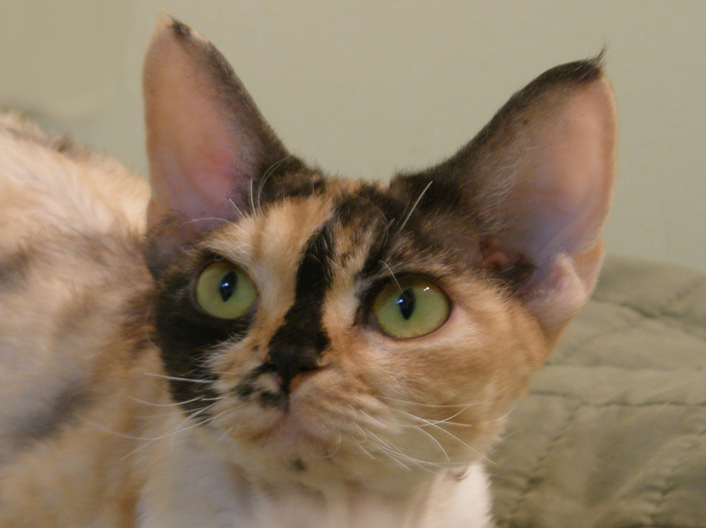 Raya's Mysterious Flower of Sand Silk (Mysti) ,Devon Rex female Cat,Tortie with white (calico).More information and pictures
