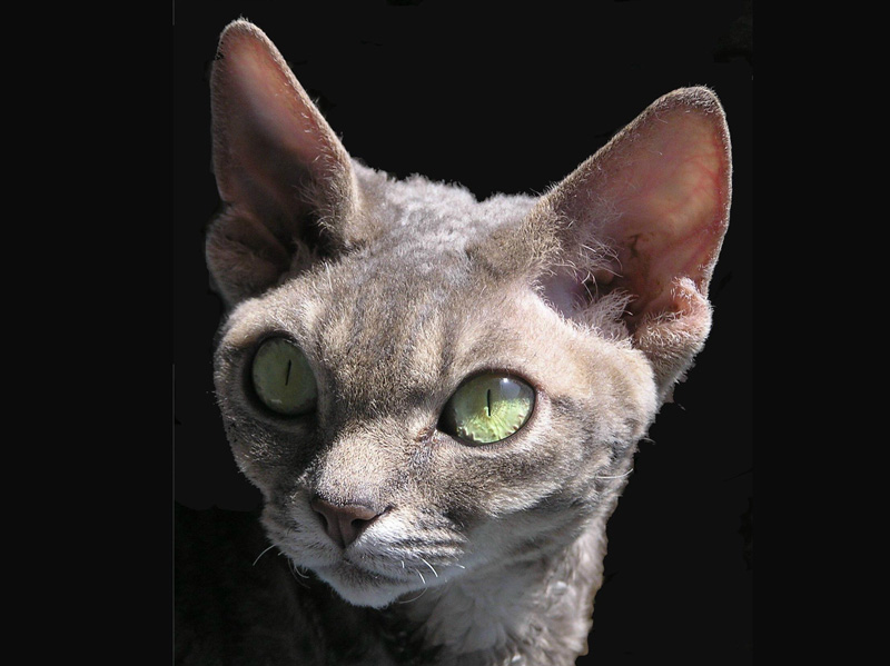 Angelica Sand Silk,Devon Rex Cat,Female,More pictures
